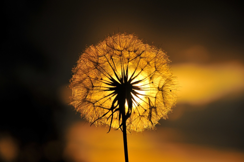 a single dandelion