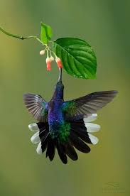a hummingbird suspended in the air sipping nectar from a flower