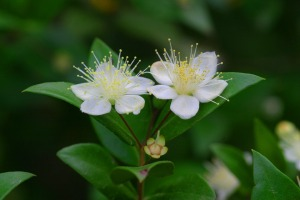 two myrtle flowers