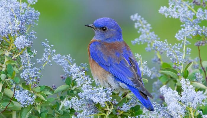 Western bluebird among lilacs