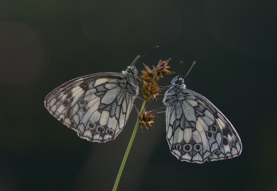 Two butterflies facing each other on the stem of a flower