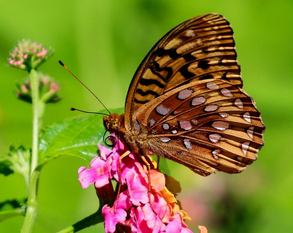 Great Spangled Fritillary on Lantana
