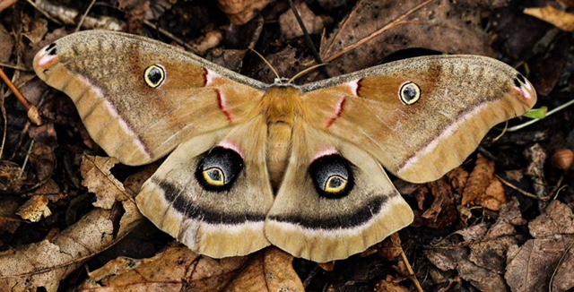 A moth with camo eyes