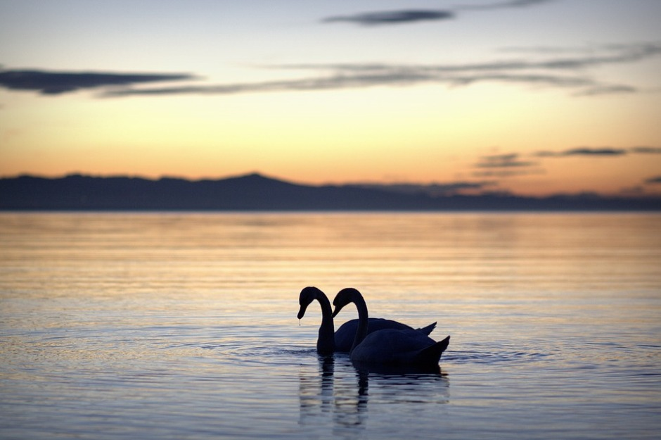 two white swans in a summer sunset