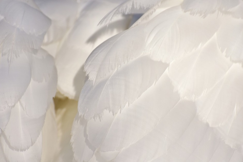 white swan feathers