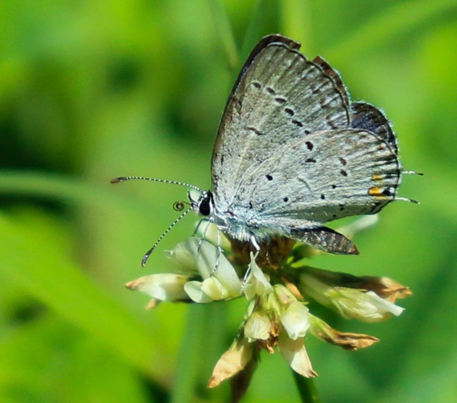 Eastern-Tailed Blue Butterfly nectaring on a white clover flower