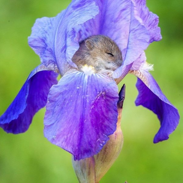 a vole sleeping in an iris