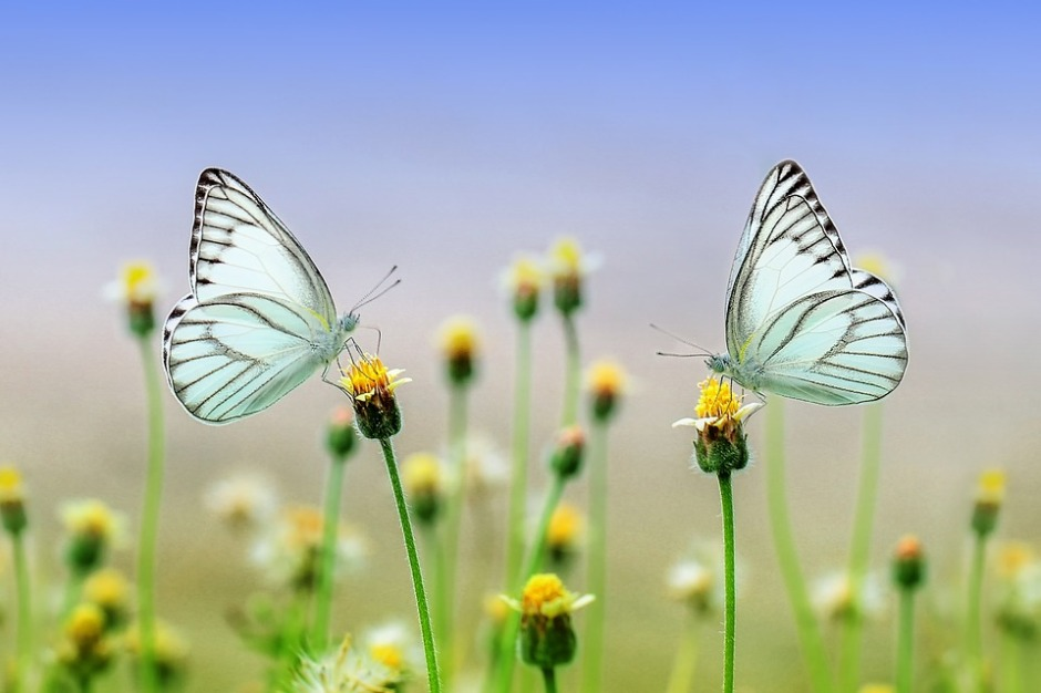 two butterflies on flowers facing each other