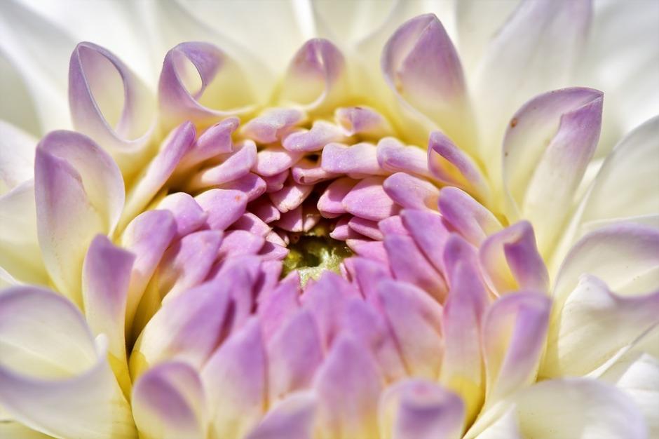 a dahlia flower opening