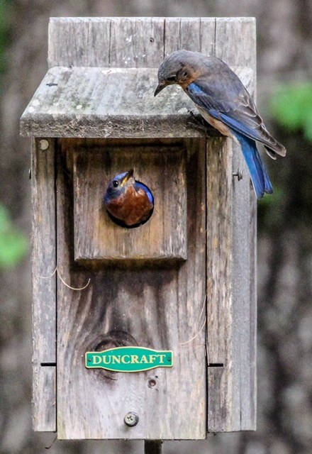 pair of nesting bluebirds