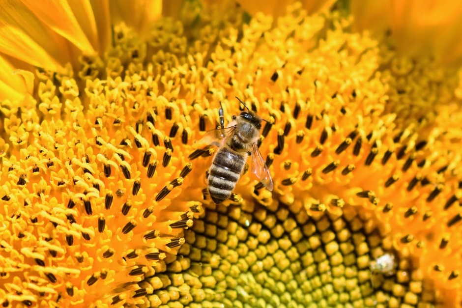 a honeybee on a sunflower
